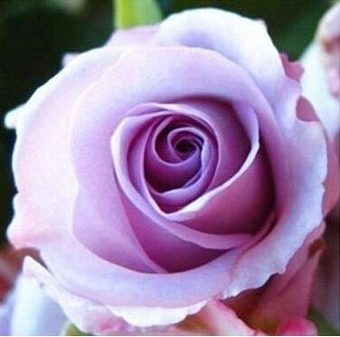 100pcs Rose rouge Graine professionnelle Seedling Floer Plantez des fleurs / Couleurs Vary jardin de sélection Graines Pot Bonsai 12