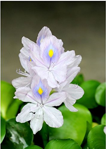 Water Hyacinth Floating Live Pond Plant - Lot of 3
