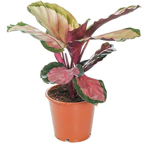Calathea roseopicta Rosy Korbmarante...