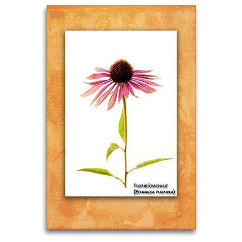 Premium Textil-Leinwand 80 x 120 cm Hoch-Format Purpur-Sonnenhut (Echinacea purpurea)   Wandbild, HD-Bild auf Keilrahmen, Fertigbild auf hochwertigem Vlies, Leinwanddruck von Georg Hanf