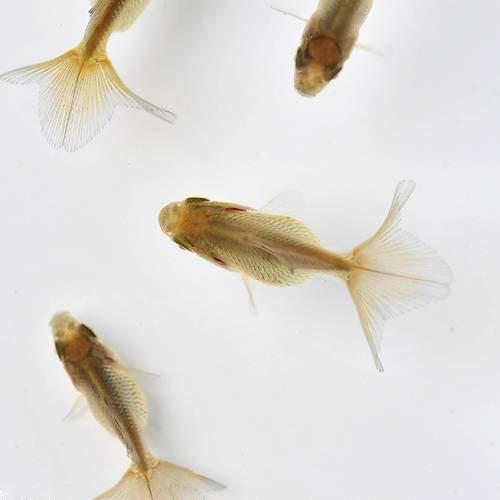 (国産金魚)土佐錦魚(トサキン)青仔~黒仔(1匹)