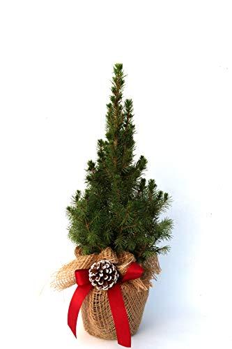 Geschmückter Weihnachtsbaum Zuckerhutfichte Picea glauca 'Conica' im Topf gewachsen (Jute mit Schleife + 1 Zapfen 20-30cm)