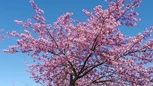 Elwyn All stores are sold 10pcs Japanese Pink Cherry Sakura Tree Seeds 25% OFF Blossom