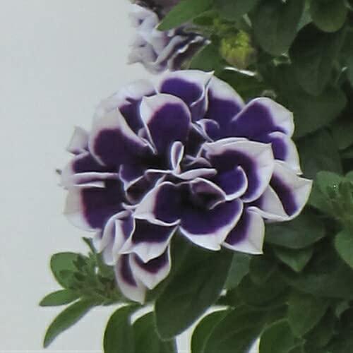 ペチュニア 花衣シリーズ 藍染 1株 M&Bフローラ 寄せ植え 季節の花苗 イングリッシュガーデンに