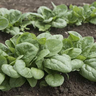 David's Garden Seeds Spinach Seaside 5667 (Green) 500 Non-GMO, Hybrid Seeds
