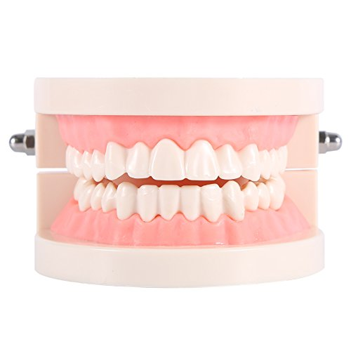 Yosoo 1pc PVC Zahnpflege Modell Zahnarzt Adult Teeth Standard Lehrmodell …