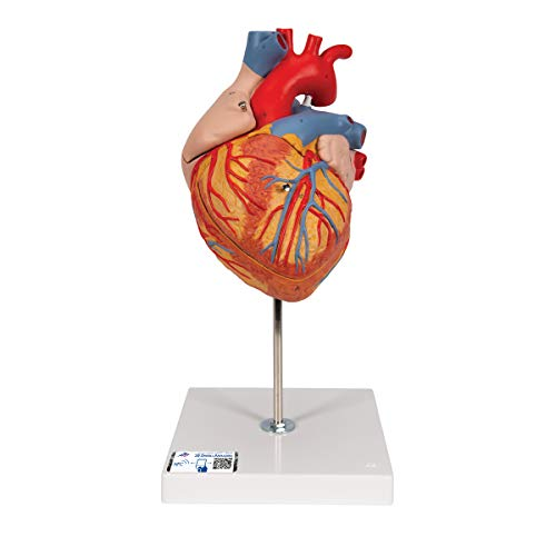 3B Scientific G12 Corazón, 2 Veces Su Tamaño Natural, de 4 Piezas...