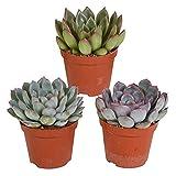 Mix 3 Succulents | Echeveria | Small Easy-Care Plants | Height 11-14cm | Pot Ø 9cm