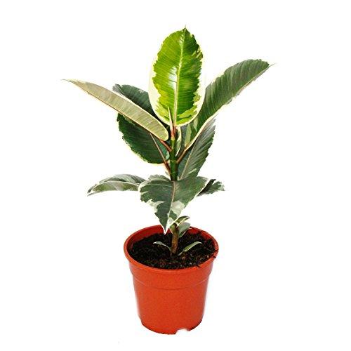 """Árbol de goma de colores blanco de Ficus elástica""""Tineke"""" – Maceta de 17 cm"""