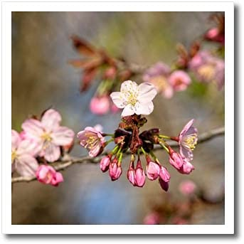 3dRose Fresh Sakura Flowers Japan's largest assortment and Buds Cherry - in The Garden. Iro Max 72% OFF