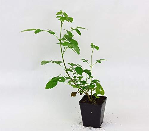 Pianta Bignonia Grandiflora, Vaso 7cm, Altezza 10/15cm