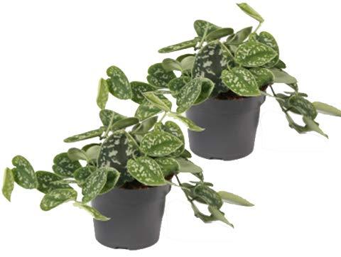 Efeutute, Scindapsus, (Epipremnum aureum) Sorte: Pictus, gepunktetes weiss-buntes Blattwerk, rankend, Ampelpflanze, luftreinigend (2er Set je im 12cm Topf)