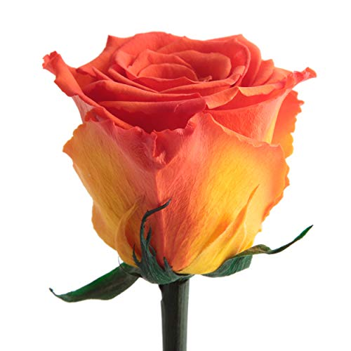 Ewig blühende konservierte Rose mit Rosenduft für besondere Anlässe und als besonderes Geschenk – Rosen mit Duft von ROSEMARIE SCHULZ® Heidelberg (Orange)