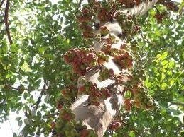 100 Semences de Cluster Fig Tree 3399 (Ficus racemosa)