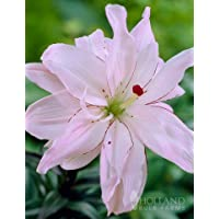 Spring Pink Double Asiatic Lily