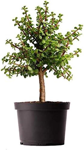 AMERICAN PLANT EXCHANGE Jade Tree New item 6 Dwarf Plant Live Pre-Bonsai Attention brand