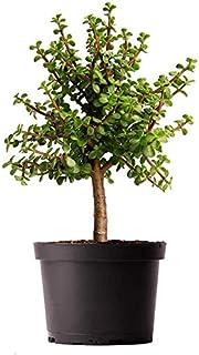 AMERICAN PLANT EXCHANGE Jade Tree Dwarf Pre-Bonsai Live Plant, 6
