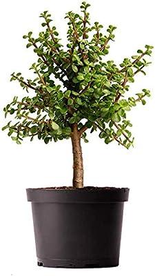 "AMERICAN PLANT EXCHANGE Jade Tree Dwarf Pre-Bonsai Live Plant, 6"" Pot, Indoor Air Purifier"