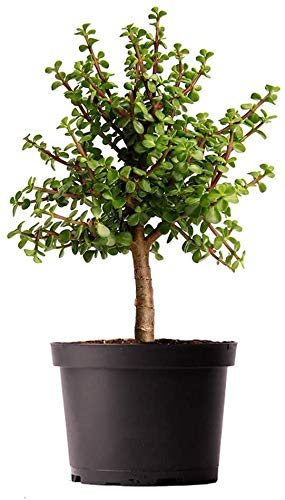 AMERICAN PLANT EXCHANGE Jade Tree Dwarf Pre-Bonsai Live Plant, 6' Pot, Indoor Air Purifier