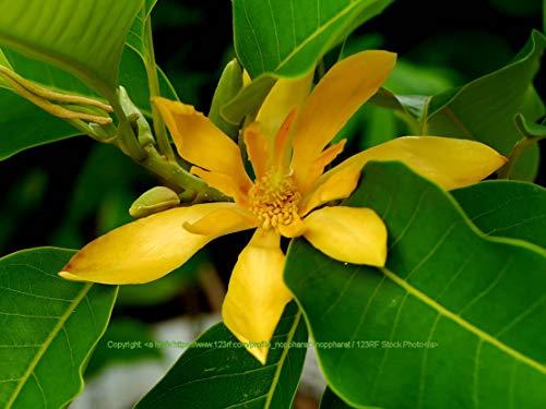 Seeds Michelia Champaca Bright Orange Flowers Parfum Ornamental Tropical 10 Graines