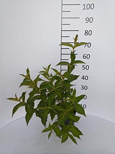Späth Weigelie 'Bristol Ruby' LH 40-60 cm im 3 Liter Topf Heckenpflanze winterhart Zierstrauch rosa blühend