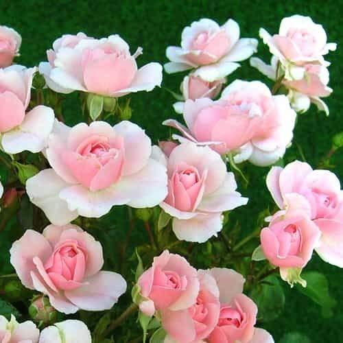 Tomasa Samenhaus- 50 Stück Bodendeckende Rose,Kletterrose Alchemist Blumensamen Saatgut winterhart mehrjährig Kordes Floribunda Rose Blütenmeer für Balkon, Wand,Garten