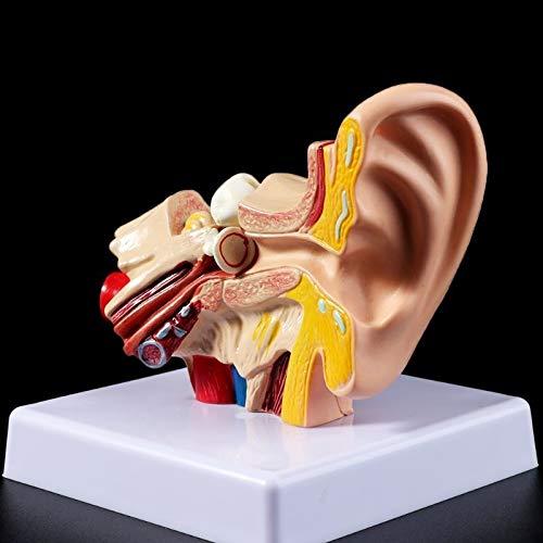XIOFYA Modelo de Accesorios médicos 1.5 Veces Tamaño de la Vida Modelo de anatomía del oído Humano Modelo de enseñanza orgánica Suministros Profesionales