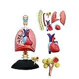 FXQ Lungenmodell - Anatomisches Modell des menschlichen Herzens und der Lunge von 4d Vision - 27 abnehmbare Teile medizinisches Lehrmodell 3D Puzzle-Zusammenbauspielzeug - für medizinische Zwecke -