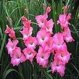 vistaric i bulbi di gladioli importati sono adatti per le piante in vaso (non è il seme di gladiolo) 2pc bulbi di fiori grande rosa