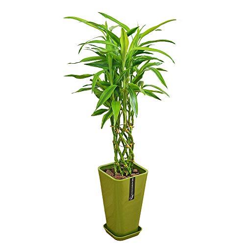 フラワーコーポレーション ミリオンバンブー 万年竹 観葉植物 グリーン カラースクエアポット 6号