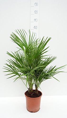Palme, Chamaerops humilis, Zwergpalme - verschiedene Größen (80-90cm - Topf Ø 21cm)