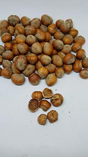 GETSO Samen-Paket Nicht Pflanzen: 30Seeds / 80G - 2.83: Baum-Hasel echte Frische Haselnuss, Filbert, New Season Seeds