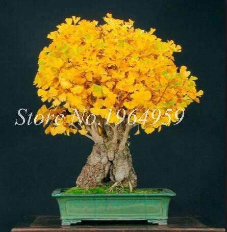 Generic Fresh 10pcs Ginkgo Tree SAMEN zum Pflanzen von Gelb 2