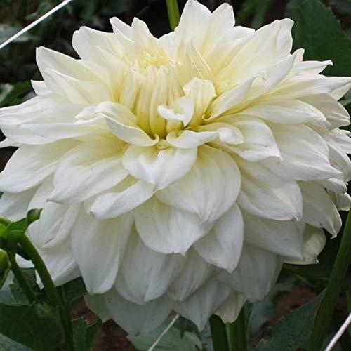 White Alva Dinnerplate Dahlia - 2 Bulbs