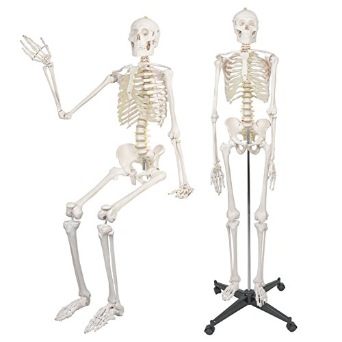 "F2C 180cm/70.8"" Life Size Human Anatomical Anatomy Medical Skeleton Model with Rolling Stand Halloween Decor Decorations"