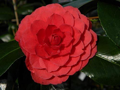 SANHOC Samen-Paket: Camellia Imbricata Rubra - Rose von Winter- 3 s insSEED