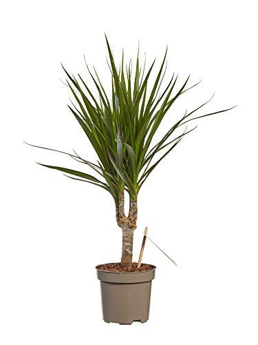 Dracaena Marginata | plante d'intérieur| hauteur 45 cm | Pot 11 cm | Entretien facile