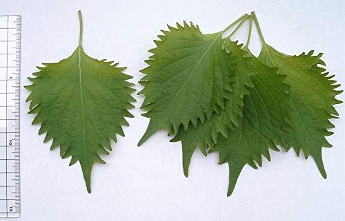 300 VERDE shiso aka Semillas Perilla frutescens ornamental de la hierba verde y púrpura
