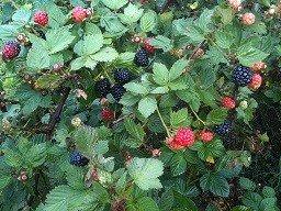 old blackberry - 5