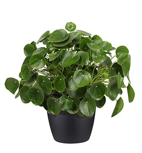 Pfannkuchenpflanze XL im Topf D. 30 Höhe 60 cm | Zimmerpflanze | Pflanze
