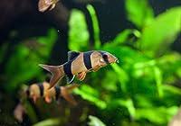 【熱帯魚・コイの仲間】 クラウンローチ ■サイズ:4cm± (1匹)