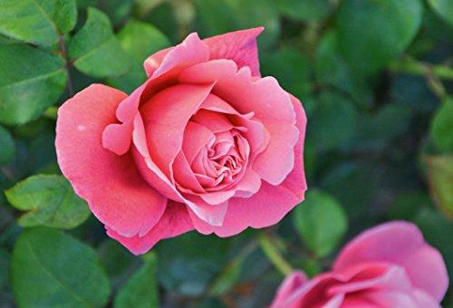 'Elbflorenz' (R), Duft-Edelrose, ADR-Rose, A-Qualität Wurzelware