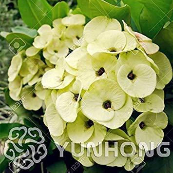 . 100PCS Cactus Pots Euphorbia Milii Fleurs en Plein air Jardin Bon marché Flores Everlasting été Plantes Accueil: 3
