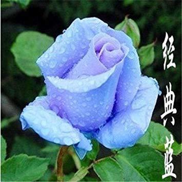 VISA STORE Vier Jahreszeiten stieg Samen Aussaat rosa Garten bcony Topf Samen Landwirtschaft Bewässerung 30pcs Rose