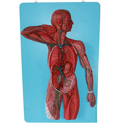 FGA Modelo Educativo Anatomía Humana Científica - Modelo del Sistema Linfático Humano Modelo de Riñón con Glándula Suprarrenal Urología Nefrología Modelo de Comunicación Médico-Paciente