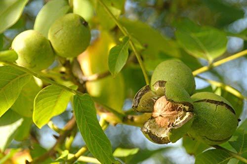 Portal Cool 20 semillas del árbol de nuez * Hardy perenne nativa * * Juglans regia saludables frutos secos