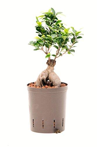 Ficus Ginseng, Ficus microcarpa Bonsai - Planta de interior hidropónica, maceta 18/19, 40-50 cm