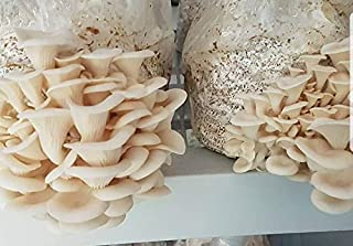 100 Grams/4 oz of White Elm Oyster Mushroom Spawn Mycelium to Grow Gourmet and Medicinal Mushrooms at Home or commercially - Use to Grow on Straw or Sawdust Blocks - G1 or G2 Spawn