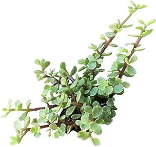 Variegated Elephant Bush Portulacaria afra Dwarf Jade Plant Porkbush Spekboom Yellow Leaves with Green Midstripes Succulent Garden Bonsai - 2'' Plants