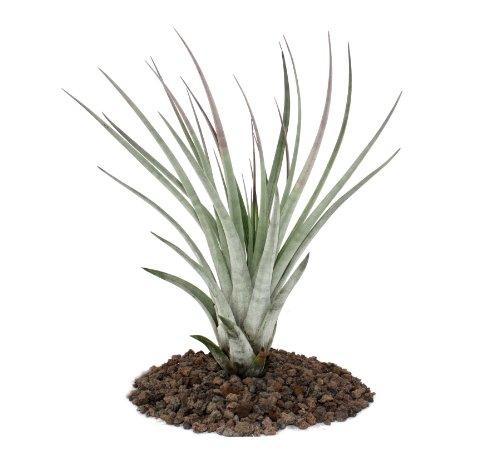 Tillandsia fasciculata - lose Pflanze - groß